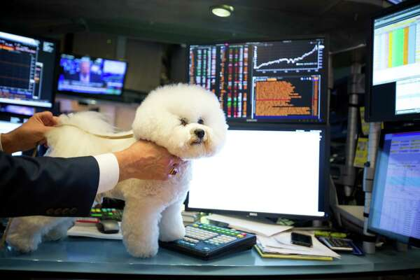 Flynn, the Bichon Frise who won Best in Show at the 142nd Westminster Kennel Club Dog Show, stands for a photograph on the floor of the New York Stock Exchange (NYSE) in New York, U.S., on Friday, Feb. 16, 2018. U.S. equities headed for the best week in six years as the rebound in global equities pushed into a sixth day. The dollar strengthened after a five-day selloff and Treasuries climbed. Photographer: Michael Nagle/Bloomberg
