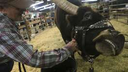 "Jacqui Jackson strokes the cheek of Casino the the longhorn Tuesday February 20, 2018 at the San Antonio Stock Show and Rodeo. Longhorns are on dispaly at the Wildlife Expo Center. The longhorns are from the Cross ""T"" Ranch in Bandera, Texas."