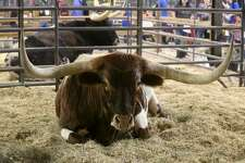 "Howdy the Longhorn sits Tuesday February 20, 2018 at the Wildlife Expo Center at the San Antonio Stock Show and Rodeo. Howdy is owned by Russell Tiner of the Cross ""T"" Ranch in Bandera, Texas. Longhorn cattle typically live 25 to 30 years."