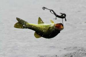 A Texas-rigged, soft-plastic lizard long has been a go-to lure for Texas anglers targeting largemouth bass dur-ing early spring. The salamander-like lures can draw particularly aggressive strikes from spawn-minded bass.
