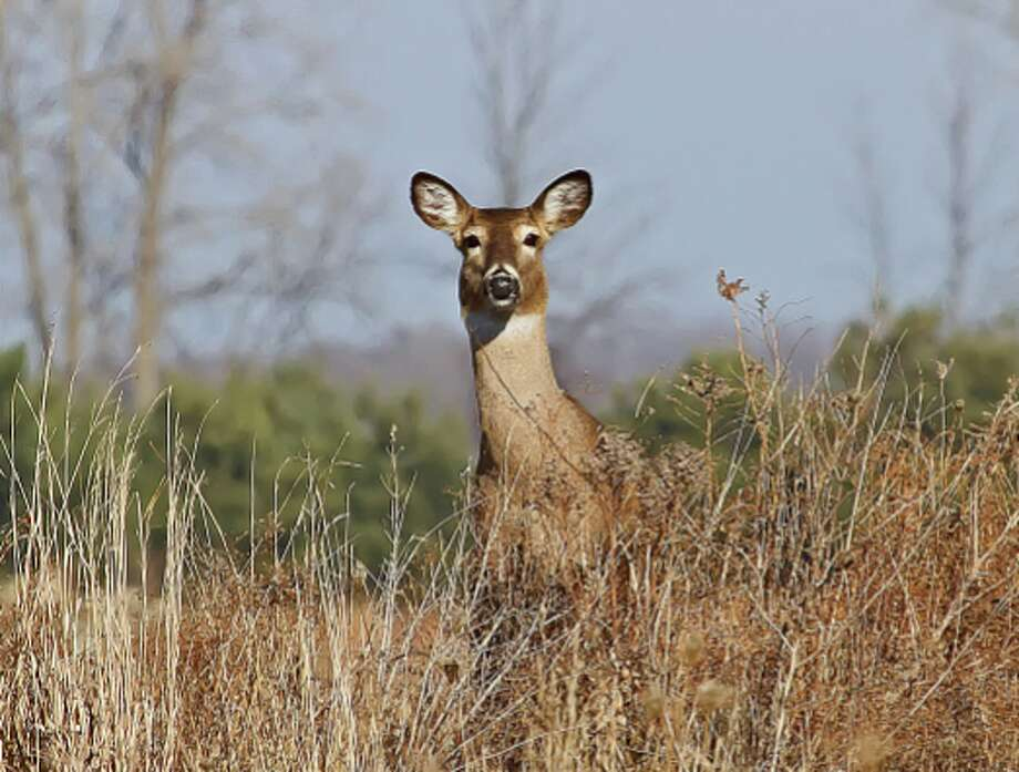 This white-tail deer was spotted watching traffic on a country road near Pinnebog recently. Photo: Bill Diller/For The Tribune