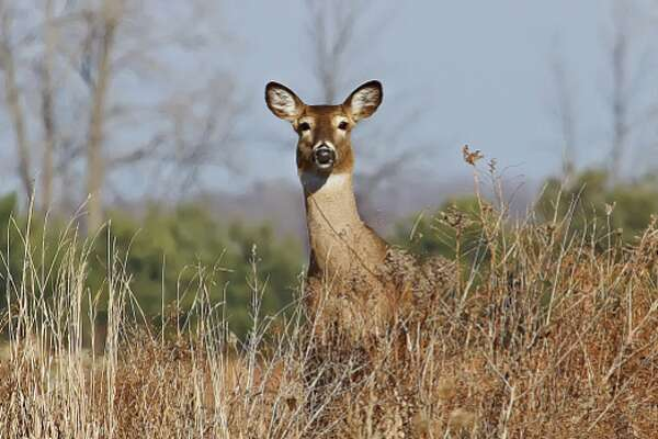 This white-tail deer was spotted watching traffic on a country road near Pinnebog recently.
