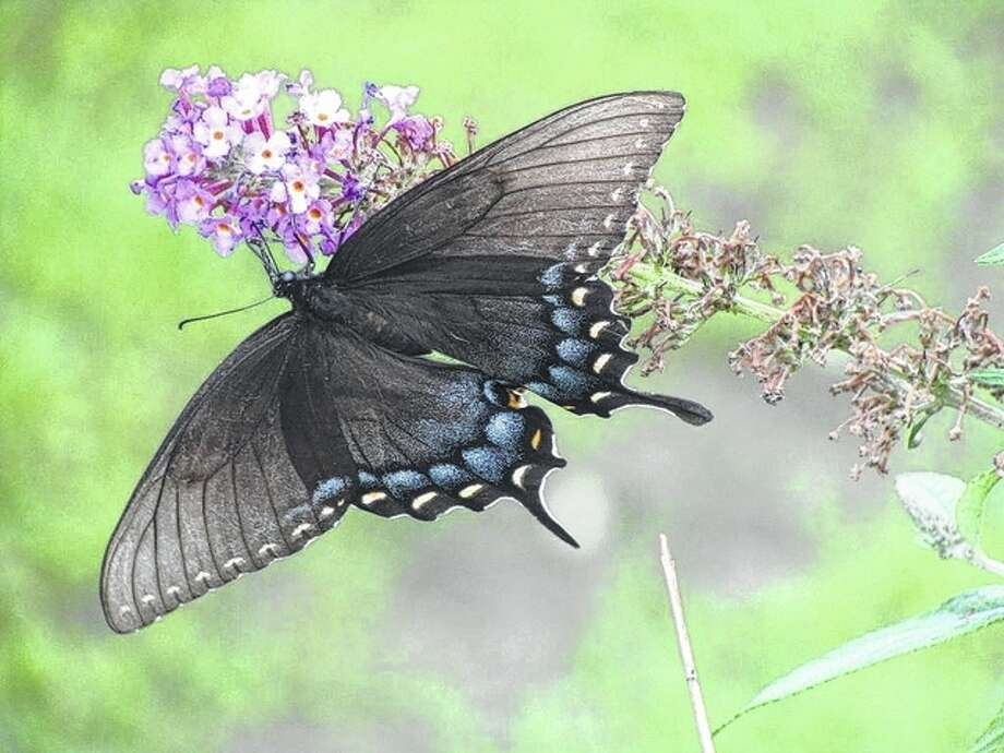 A black shallowtail butterfly gets nectar from the flowers on a bush.