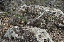 Nest of rattlesnakes located at Lockhart State Park.