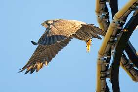 A Peregrine Falcon flies from the circular light tower atop the Drury Plaza Hotel, 105 South St. Mary's St., on Friday, Jan 12, 2018.  A pair of the wintering birds have apparently taken up residence in downtown San Antonio.  MARVIN PFEIFFER/mpfeiffer@express-news.net