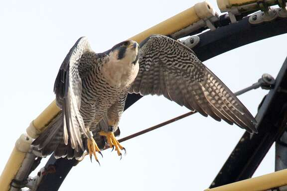 Radisson, an 11-year-old female Peregrine Falcon, flies from the circular light tower atop the Drury Plaza Hotel, 105 South St. Mary's St., on Tuesday, Jan. 30, 2018.  Radisson and a four-year-old male Peregrine named Triumph have taken up residence in downtown San Antonio this winter.  MARVIN PFEIFFER/mpfeiffer@express-news.net