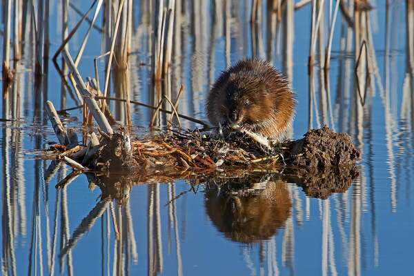 This muskrat was spotted in a marsh at Fish Point Wildlife Area.