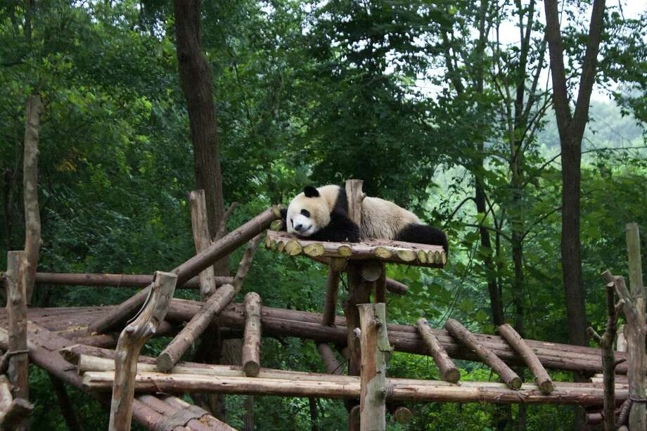 -- PHOTO MOVED IN ADVANCE AND NOT FOR USE - ONLINE OR IN PRINT - BEFORE FEB. 18, 2018. -- In an undated photo provided by Lucas Peterson, a panda relaxes at the Chengdu Research Base of Giant Panda Breeding, in Chengdu, China. Travelers can keep costs low in Chengdu while visiting museums, urban temples, and restaurants with spicy cuisine. (Lucas Peterson via The New York Times) -- NO SALES; FOR EDITORIAL USE ONLY WITH NYT STORY SLUGGED FRUGAL TRAVELER BY LUCAS PETERSON FOR FEB. 18, 2018. ALL OTHER USE PROHIBITED. -- Photo: LUCAS PETERSON / LUCAS PETERSON