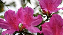 "Azaleas grow at a private residence that is part of the 2018 Azalea Trail, Monday, Feb. 19, 2018, in Houston. The ""Blossoms on the Bayou"" Azalea Trail Home and Garden Tour is March 2-4.  ( Jon Shapley / Houston Chronicle )"