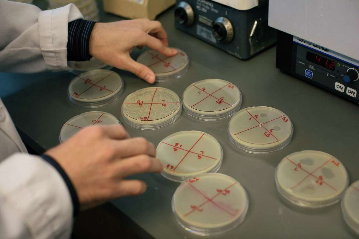 Cesar Montelongo, a third-year medical student, examines Petri dishes in which he conducted an experiment looking at interactions of viruses with bacteria in the bladder.