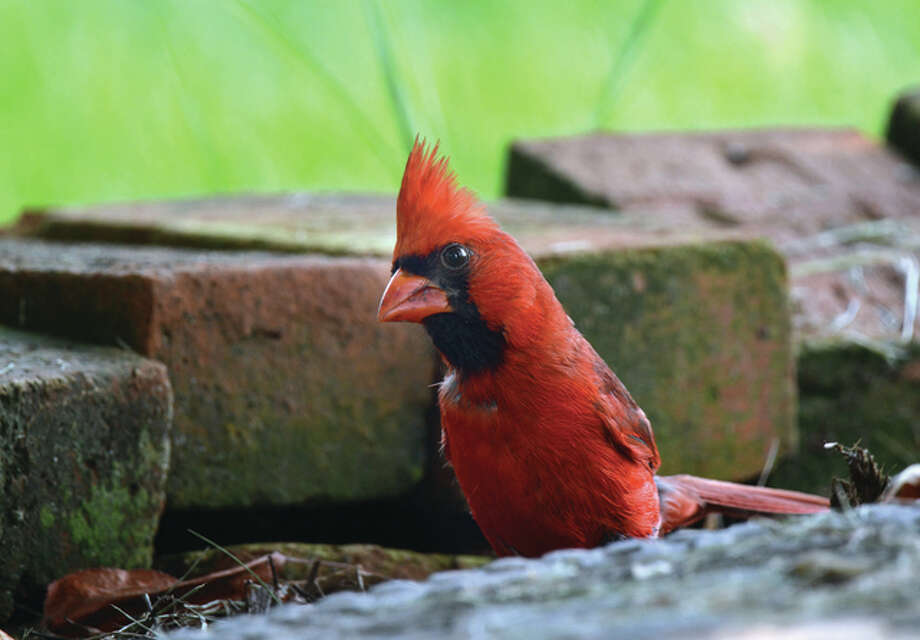 A male cardinal hops around, looking for food. — Jeff Ruzicka | Reader photo