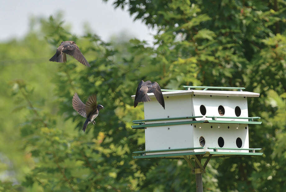 Several purple martins fly around Pike County. Purple martins are known to eat large amounts of mosquitoes, but also eat house flies, beetles, moths, butterflies and dragonflies. Photo: Jeff Ruzicka | Reader Photo
