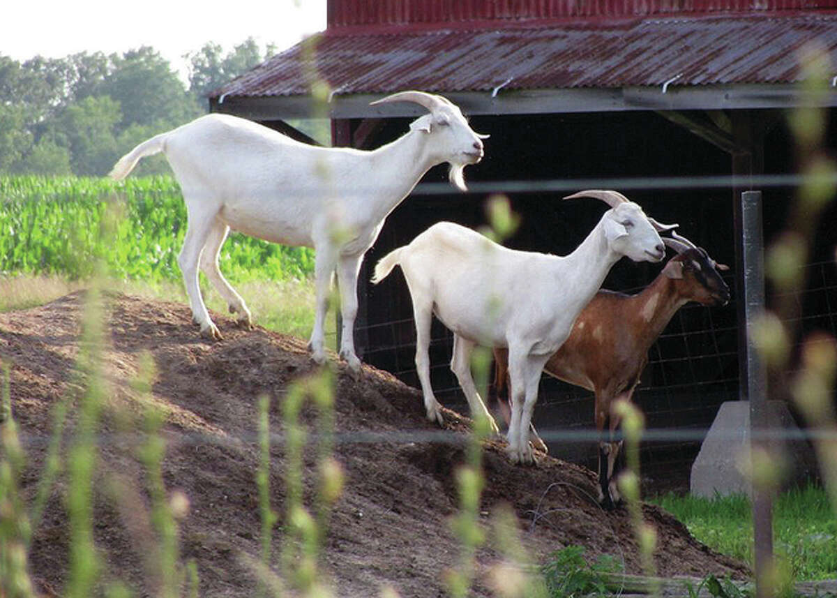A trio of goats stand their ground on a slope in a rural Greene County field.