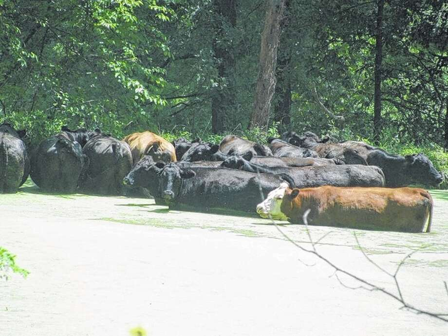 Even the cows were trying to keep cool despite the algae in a farm pond in rural Greene County. Photo: Beverly Watkins | Reader Photo