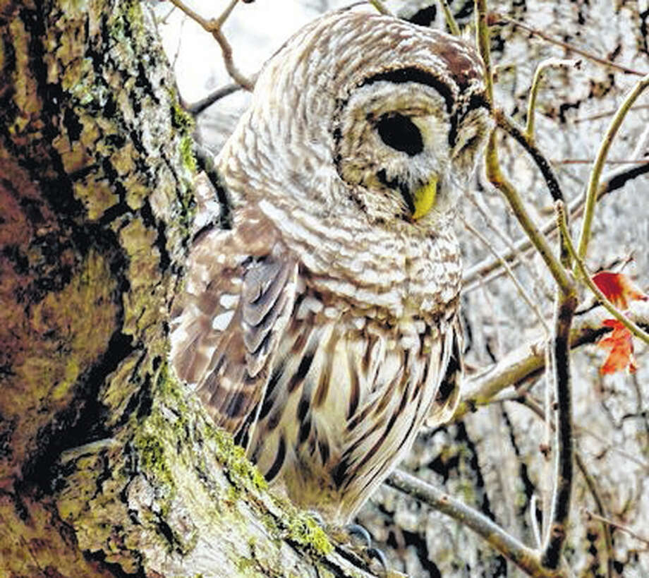 A camouflaged barred owl watches and waits for an opportunity to fish from a creek near Waverly. Photo: Kathy Caruthers | Reader Photo