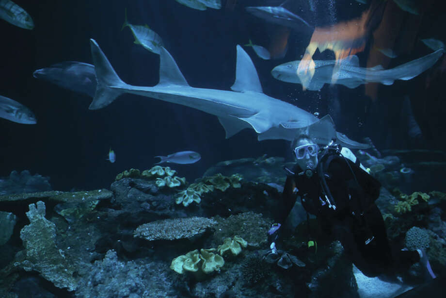 Shedd Aquarium's Cheryl Mell, senior VP of global field expeditions and conservation ambassador, swims inside the shark tank on June 18, 2015 in Chicago. (Abel Uribe/Chicago Tribune/TNS)