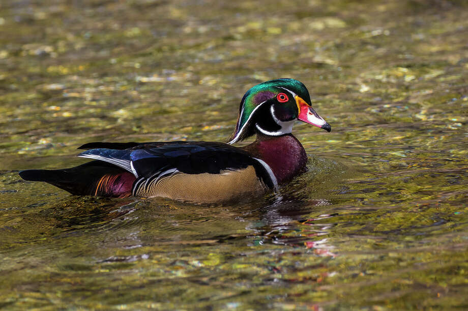 Wood ducks reside near forested ponds, marshes and swamps.  Look for them near ponds on golf courses and in city parks. Photo: Kathy Adams Clark / Kathy Adams Clark