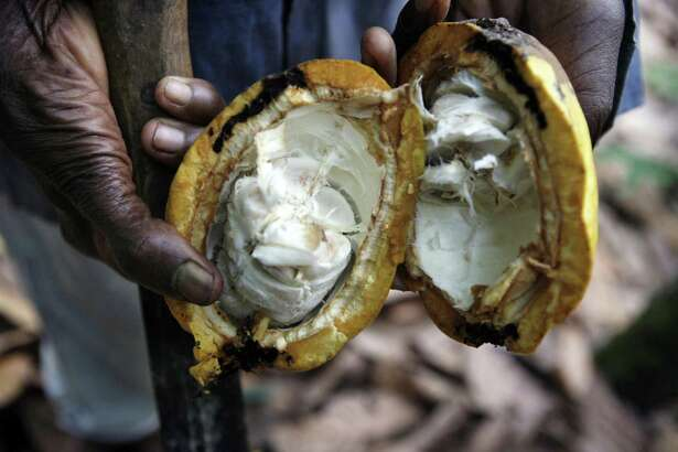 A 2008 file photo shows a farmer holding an open, ripe cocoa pod on a farm outside of Kumasi, Ghana.