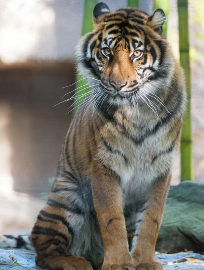 Jillian as an adult at the Sacramento Zoo. Photo: Sacramento Zoo / SACRAMENTO ZOO 2015
