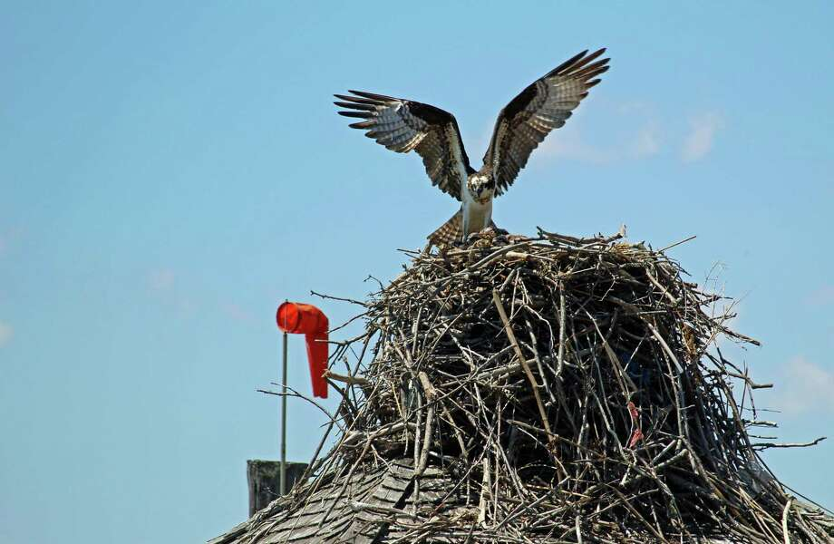 An osprey atop its nest above the Sheffield Island docks in Norwalk. Photo: Thane Grauel / Hearst Connecticut Media / Connecticut Post