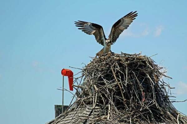 An osprey atop its nest above the Sheffield Island docks in Norwalk.