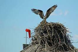 An osprey atop its nest above the Sheffield Island docks in Norwalk.