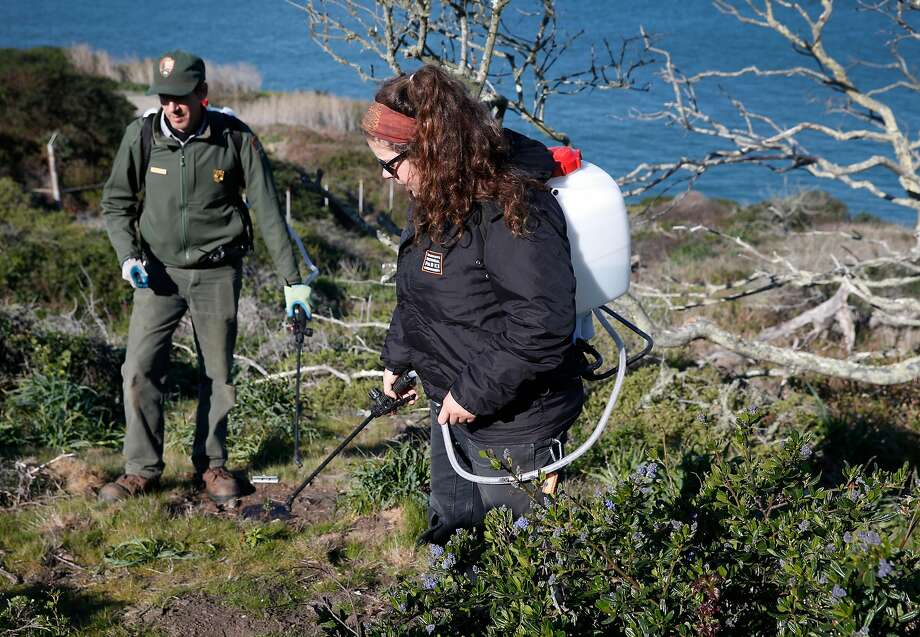 Michael Chassé, a National Park Service biologist, and Crystal Dolis water Franciscan manzanita seedlings at the Presidio in San Francisco. The last Franciscan manzanita in San Francisco can not reproduce without a mate, above. Photo: Paul Chinn, The Chronicle