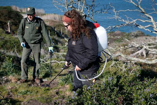 Crystal Dolis waters Franciscan manzanita seedlings with National Park Service biologist Michael Chass� at the Presidio in San Francisco, Calif. on Wednesday, Feb. 21, 2018. Park Service biologists are reintroducing the endangered Franciscan manzanita back to its natural habitat in the Presidio.