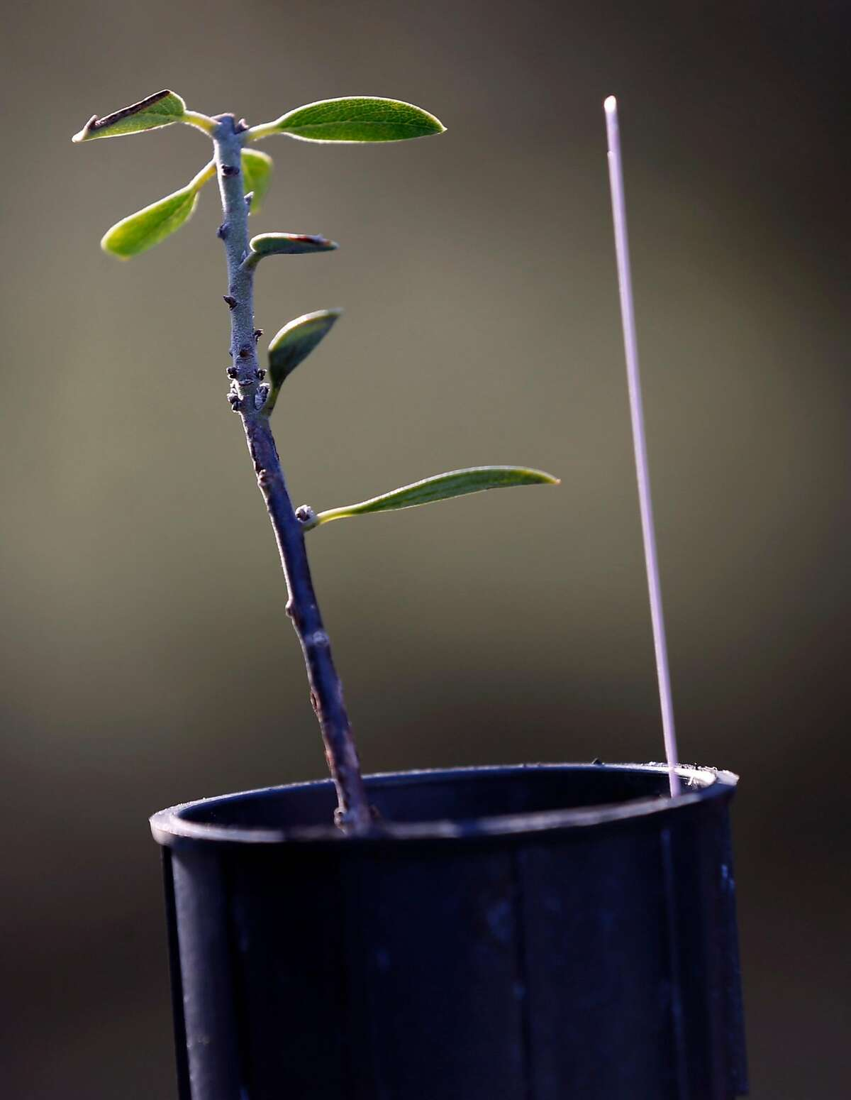 A Franciscan manazanita seedling is prepped for planting at the Presidio in San Francisco, Calif. on Wednesday, Feb. 21, 2018. Park Service biologists are reintroducing the endangered Franciscan manzanita back to its natural habitat in the Presidio.