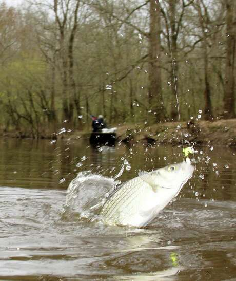 The late-winter white-bass spawning run in Texas rivers offers anglers an early-season opportunity to enjoy fast, light-tackle fishing for a scrappy quarry often found in scenic riverine settings. Photo: Shannon Tompkins