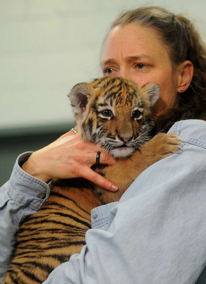 Amur tiger cub sisters Zeya and Reka make their debut at the Beardsley Zoo in Bridgeport, Conn. on Thursday, January 11, 2018. A fundraiser to support Connecticut Beardsley Zoo's collection of endangered species and to enhance habitats will take place on Nov. 3, at The Patterson Club in Fairfield. Photo: Brian A. Pounds / Hearst Connecticut Media / Connecticut Post