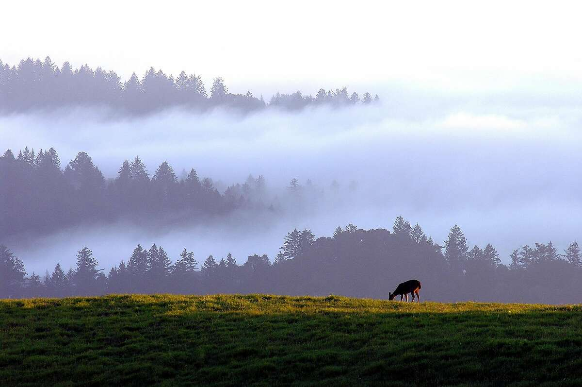 A deer grazes on the fresh grass of a wild meadow near Black Mountain at Monte Bello Open Space Preserve on the Peninsula.
