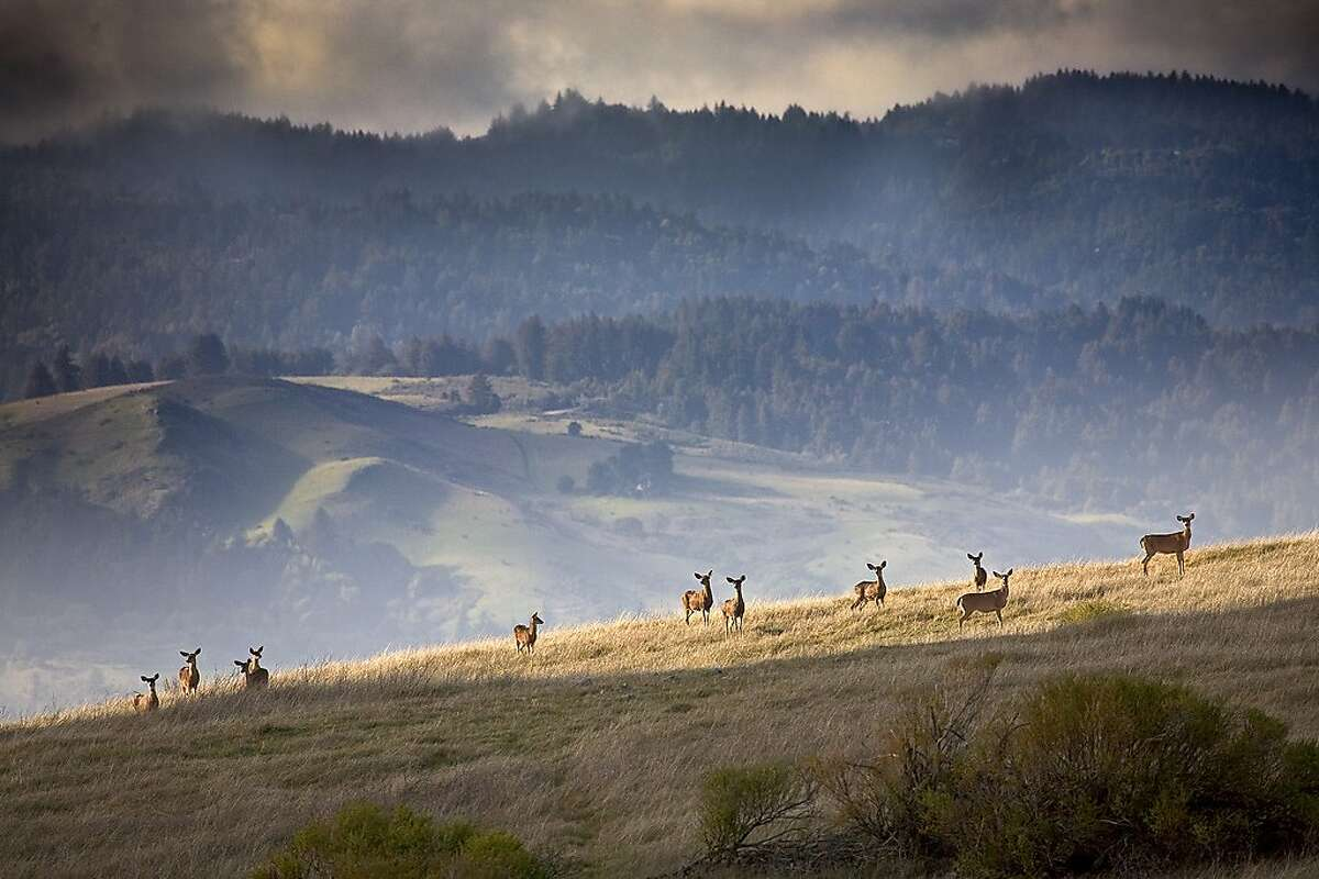 A herd of black-tailed deer on the ridge at Monte Bello Open Space Preserve.