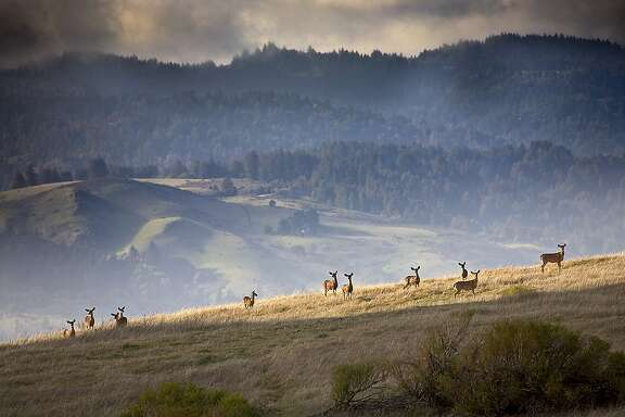 A herd of black-tailed deer on the ridge at Monte Bello Open Space Preserve