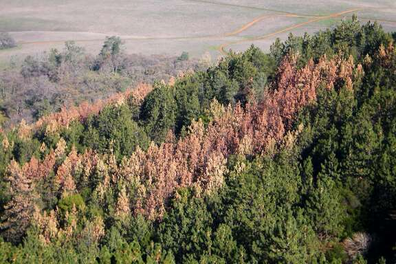The brown and red tops of dead and dying pine trees stand out in a forest on the east side of Mount Diablo. Pine trees are dying by the thousands across the state after being ravaged by drought and finished off by bark beetles.