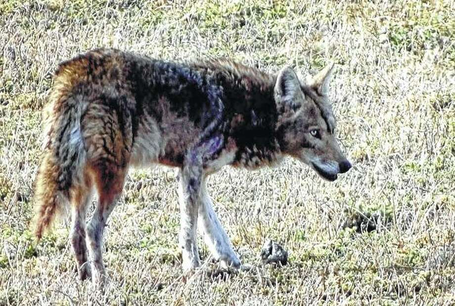 A coyote wanders along the 1000 block of North Diamond Street.