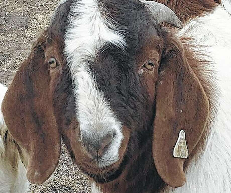 "A Boer goat shows curiosity about its surroundings. Their breed gets its name from the Dutch word ""boer,"" which means farmer."