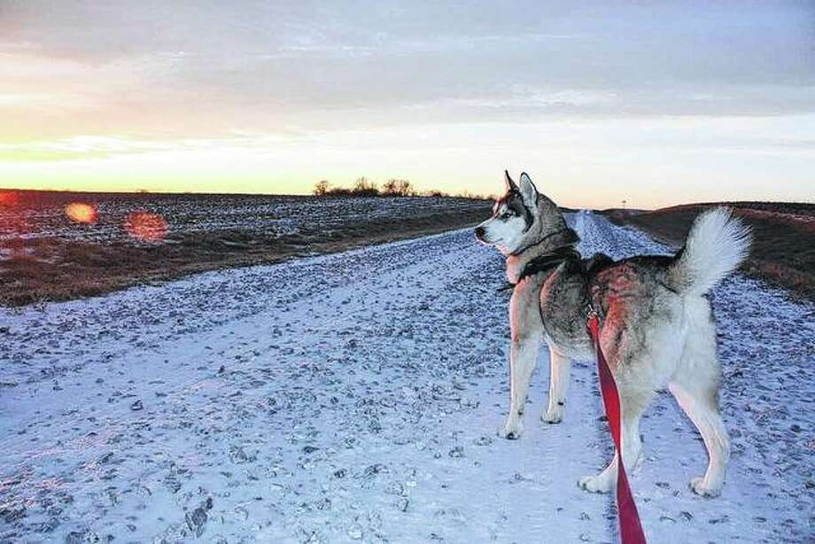 Jackson the husky goes for a walk at sunset in Virginia. Being a husky, he enjoys winter.