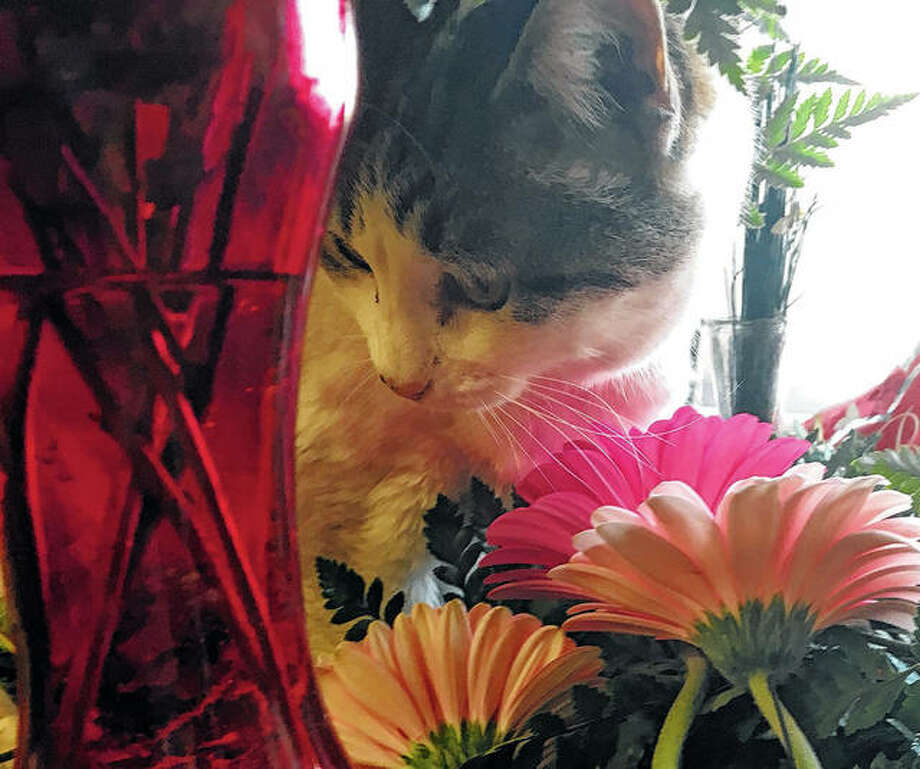 A cat stops and smells the daisies at Barber Florist.