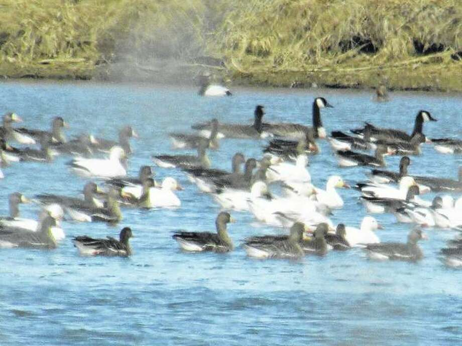 Snow geese gather on a pond east of White Hall.