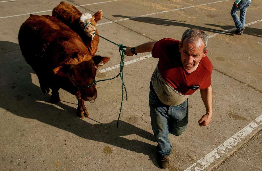 Murray Skippen drags his cattle out from his trailer after driving in from Alberta, Canada one day before the start of the Houston Livestock Show and Rodeo Monday, Feb. 26, 2018 in Houston. Photo: Michael Ciaglo, Houston Chronicle / Michael Ciaglo