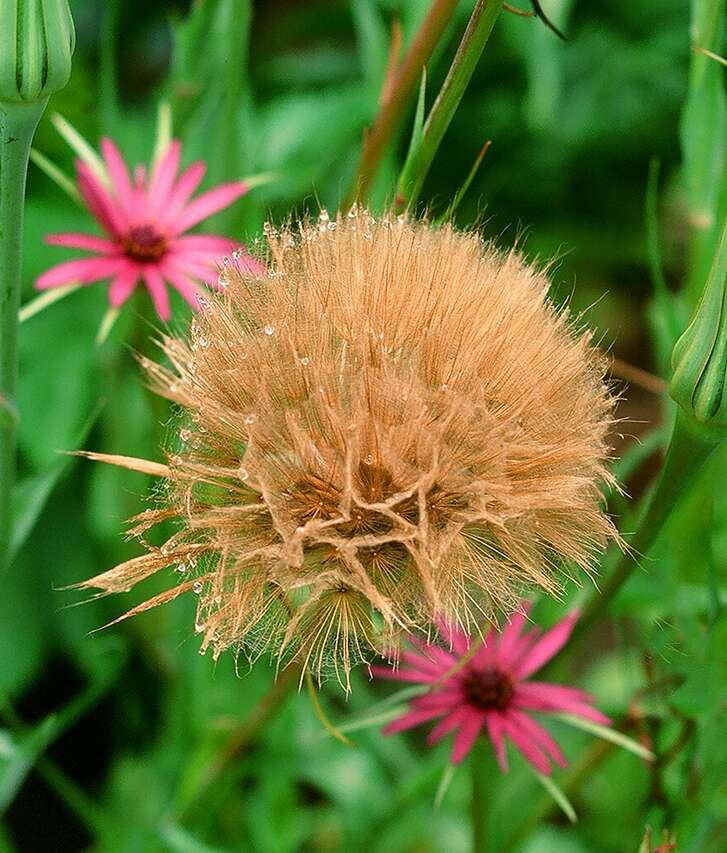 Salsify is another biennial that blooms and forms seedheads in spring after overwintering.  Photo: Pam Peirce