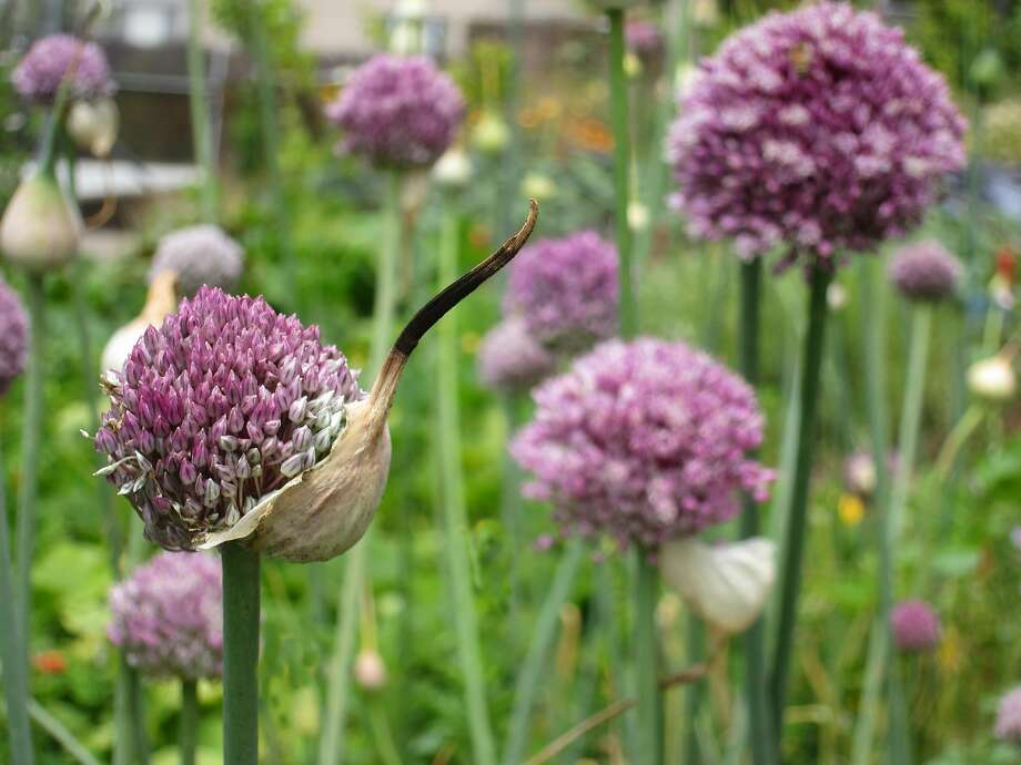When leeks, a biennial vegetable, bloom (usually in March), the flowers are pretty (pictured), but the plant is too tough to eat. Photo: Pam Peirce