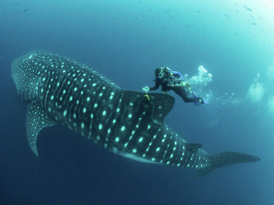 In this 2017 photo provided by Simon Pierce, Jonathan Green checks on a fin-mounted satellite tag on a whale shark in the Galapagos Islands area of Ecuador.  Despite typically being bigger than a double-decker bus, the elusive whale shark has only tiny, almost useless teeth. It's also one of the least understood animals in the ocean. (simonjpierce.com via AP) Photo: Simon Pierce, AP / Simon J Pierce