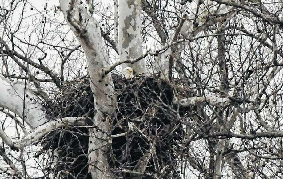 An eagle rests in a nest it built in a tree near Waverly.