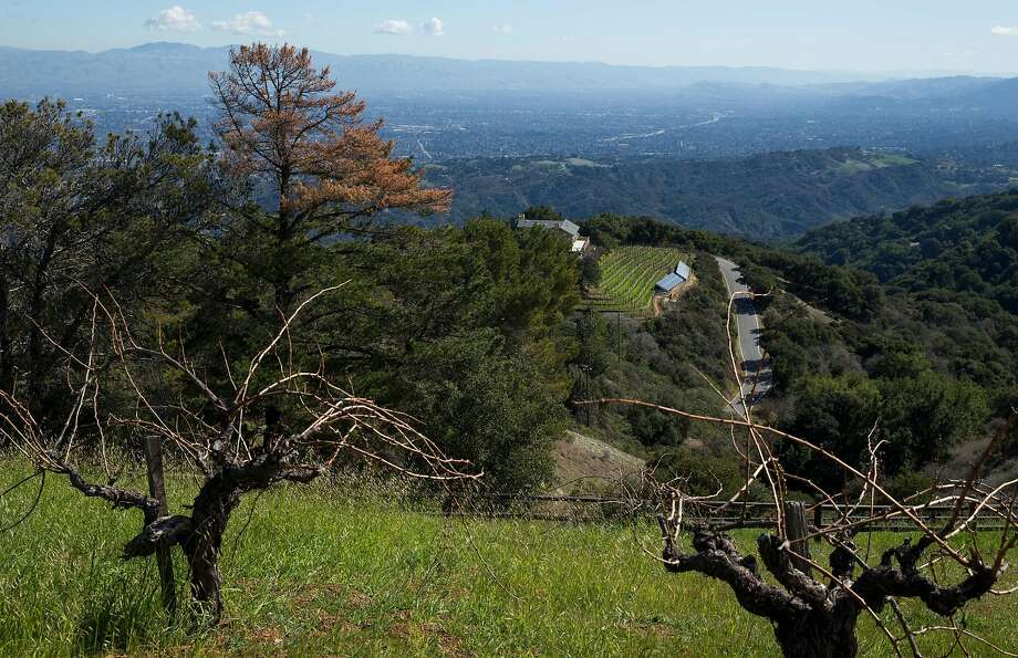 The century-old grapevines at Ridge's Monte Bello vineyard in Cupertino overlook Silicon Valley. The vineyard is just over 15 miles from Levi's Stadium. Photo: Jessica Christian / The Chronicle 2018