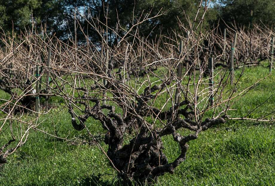 At Picchetti Winery on Montebello Road in Cupertino, 130-year-old grapevines sit on a hill. Photo: Jessica Christian, The Chronicle