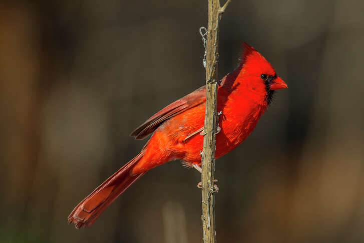 The male northern cardinal's feathers turn red from pigments in the foods it eats.
