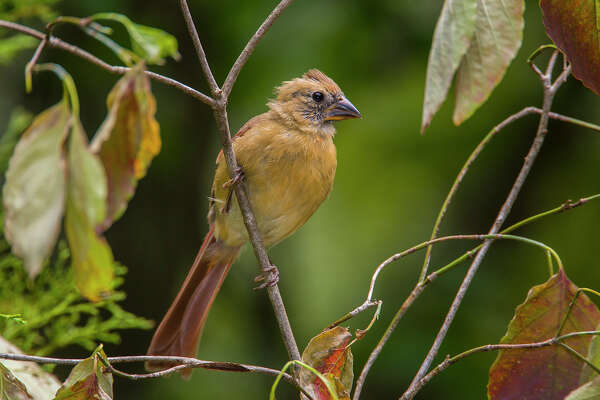 Genetic mutation, diet could cause yellow cardinal's rare