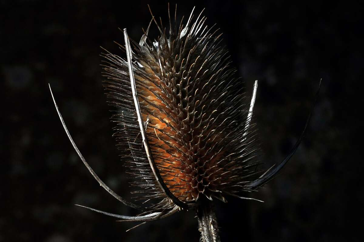 A Teasel seed pod along the trail near Scotch Creek in the Horseshoe Ranch Wildlife Area of the Cascade-Siskiyou National Monument outside of Copco, Calif., on Wednesday, February 21, 2018. The monument, expanded in the final year of the Obama administration, but under the Trump administration, the park is at risk of being reduced and once-protected land opened to lumber harvesting and motorized vehicles.